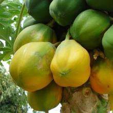 La papaye