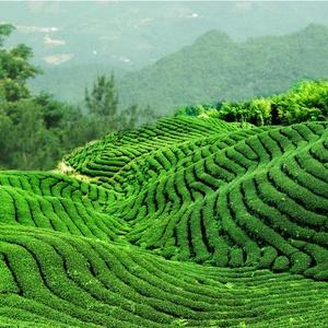 Les thés de Chine