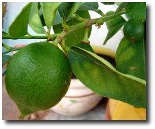 Alimentation 040 LE CITRON   Ses bienfaits et propriétés thérapeutiques